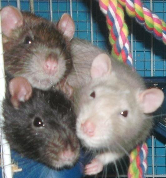 Feb 2014 Rats 3
