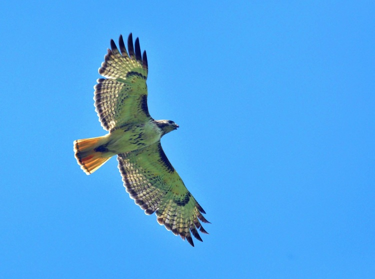 red-tailed-hawk-947416