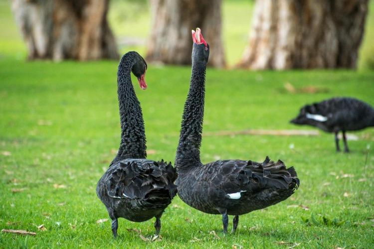 black-swan-341583