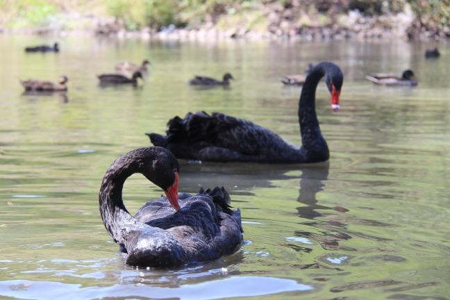 black-swan-935527_1920