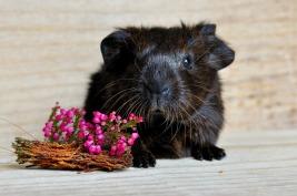 guinea-pig-658717_1920
