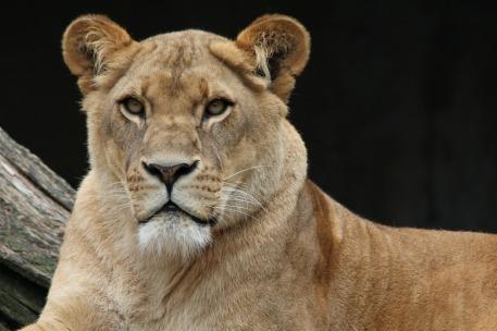 lion-341717_1920