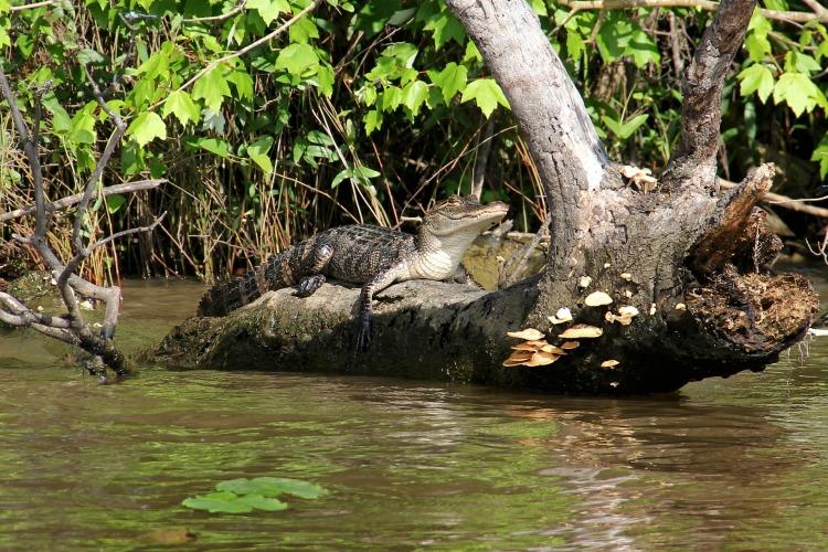 alligator-169129_1920