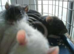new-rats-005