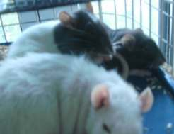 new-rats-010