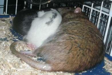 rats-019