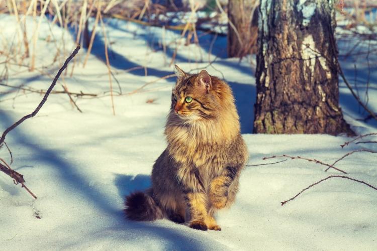 Cute siberian cat walking in the snowy forest