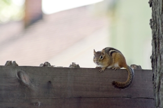 A cute little chipmunk standing on a fence.