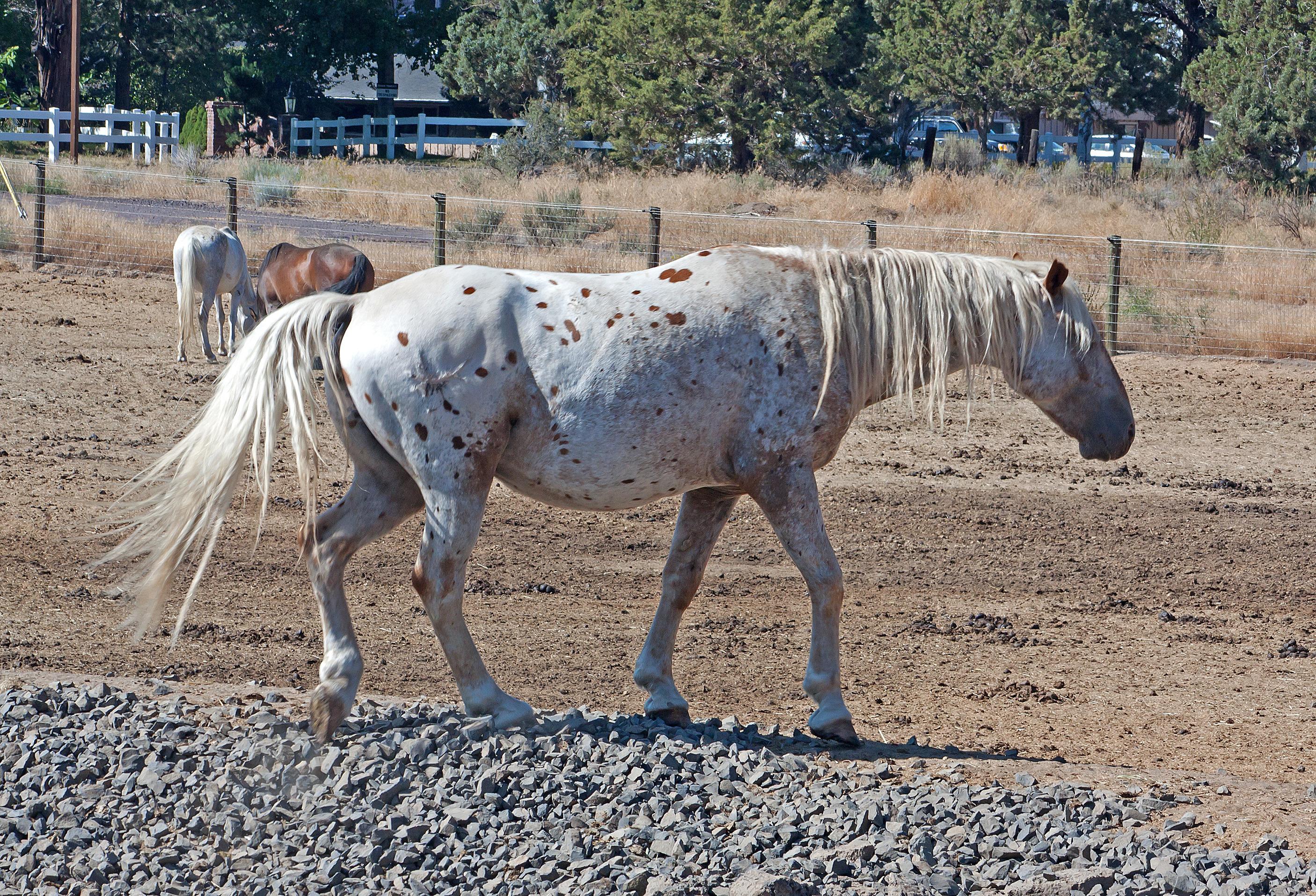 appaloosa-gelding-horse_zyfwSLdO