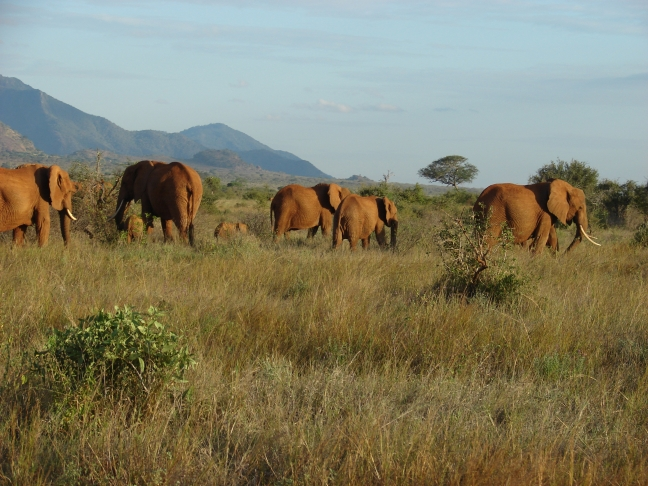 Elephants' migration through an african savanna