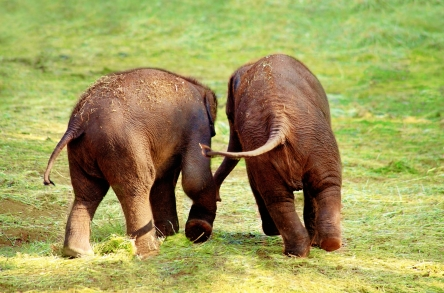Two running little elephants back to camera