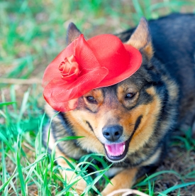 Dog dressed female red hat lying on the grass