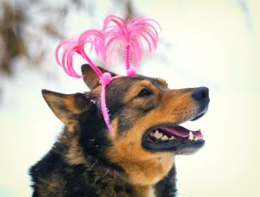 Dog wearing Christmas headband walking outdoors