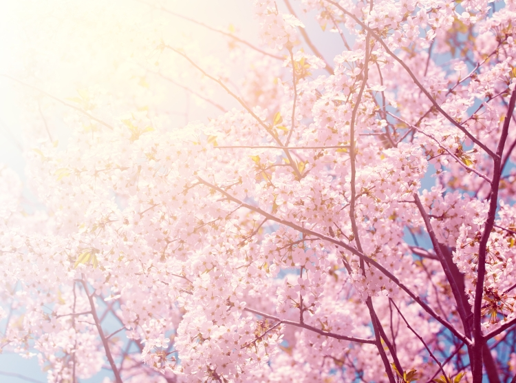 Vintage blossoming cherry tree