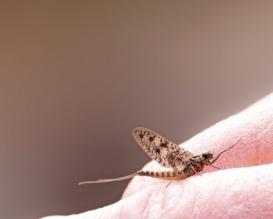 green-eyed-mayfly-insect_fydmrvtO