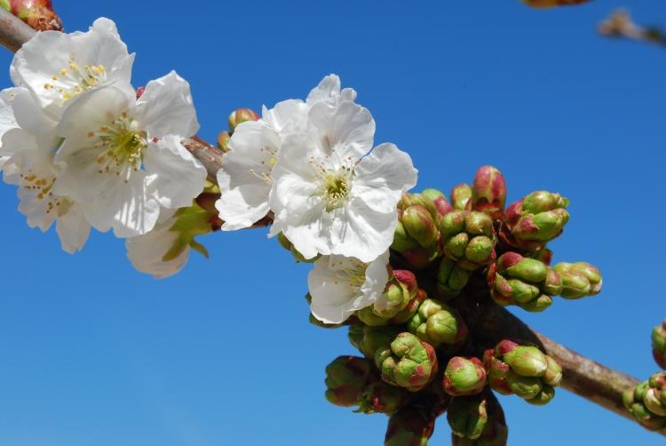 cherry-flowers_zJy2gRTd.jpg