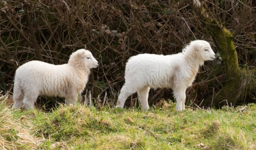 Two white lambs looking to the side
