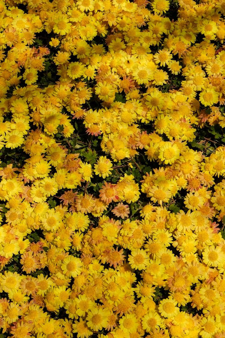 yellow-flower-field-nature-background_rP0gTLk_2Ge.jpg