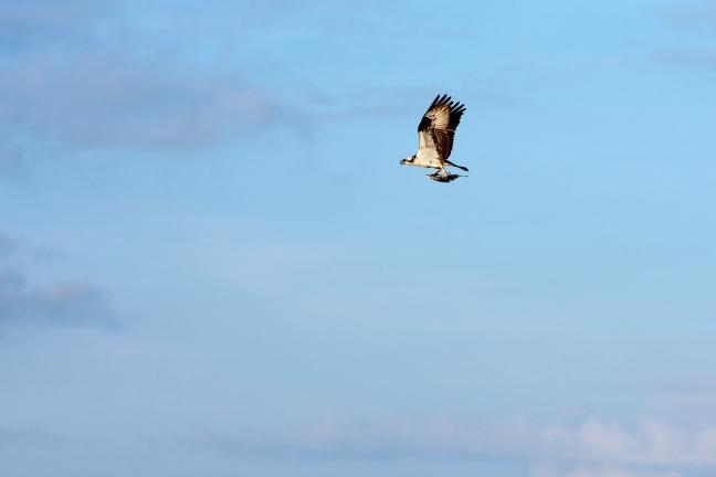 Osprey Bird Carrying a Fish