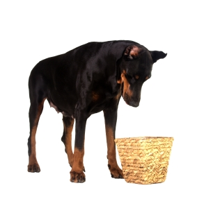 pet dog looking for a food in basket on white background