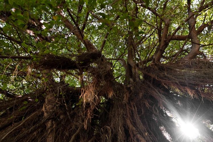 Tropical Vine Tree