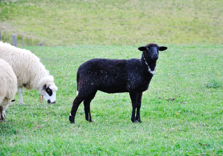 Crop Sheeps-and-little-lamb-on-green-ground_rtuaozRNo