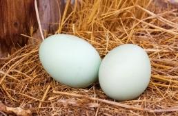 hen-eggs_MkOXtyYO