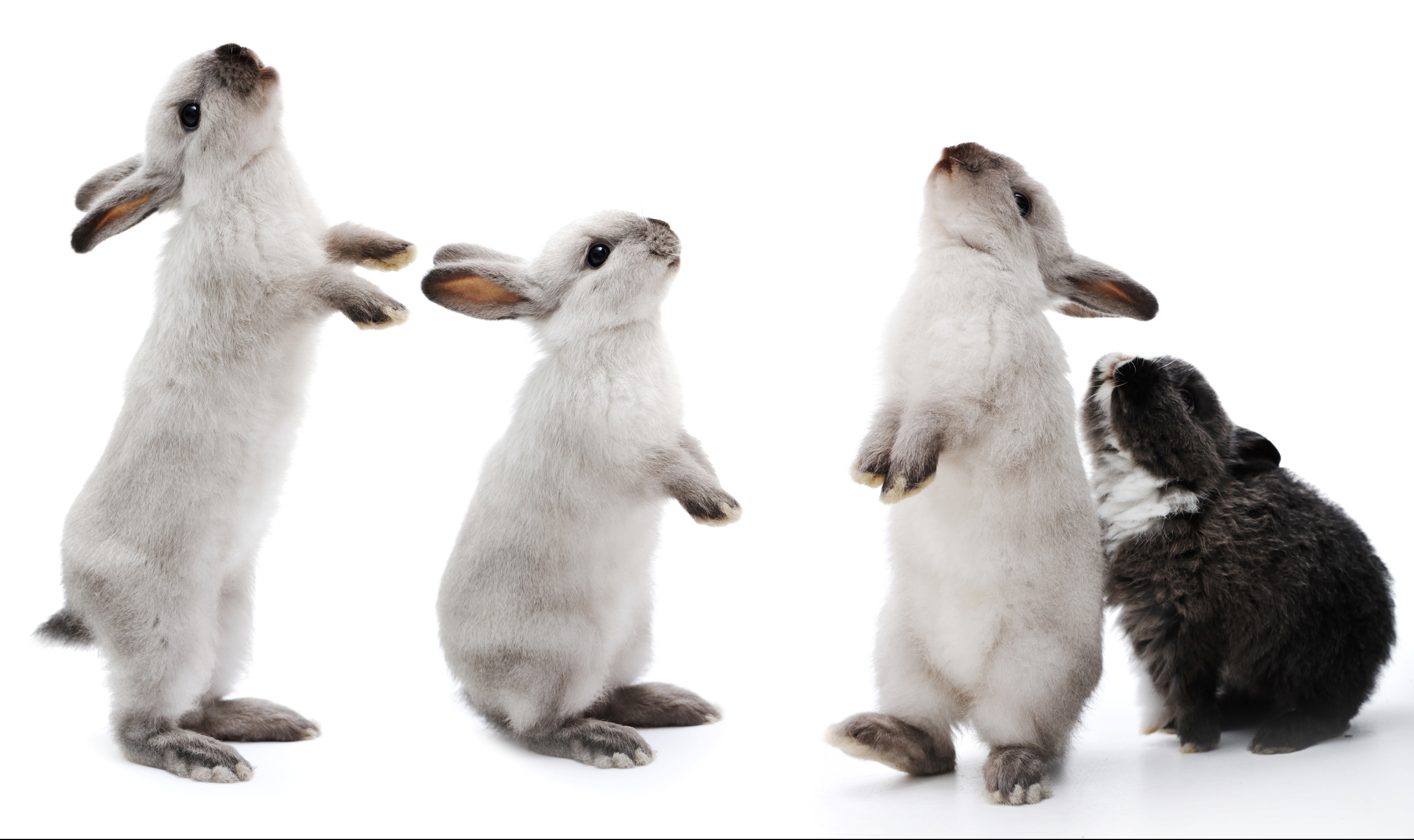 Group of rabbits bunny isolated on white background with copy sp